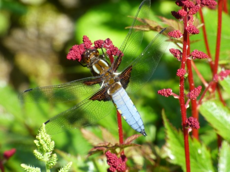Male broad-bodied chaser