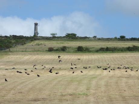 Corvid field, Kit Hill