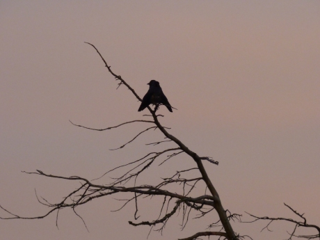 Jackdaw with wings down