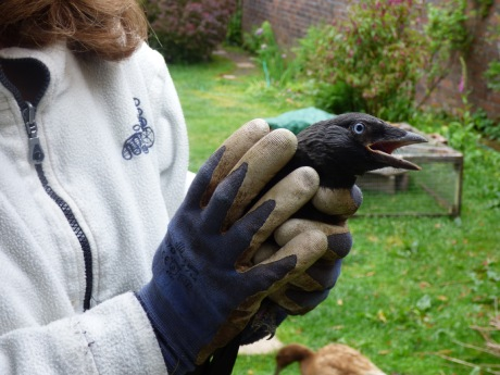 Jackdaw that came down the chimney June 2020