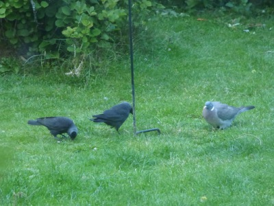 Jackdaws and a wood pigeon (and a magpie has just left) under the bird feeder June 2020