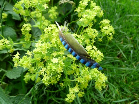 A colourful jay wing feather