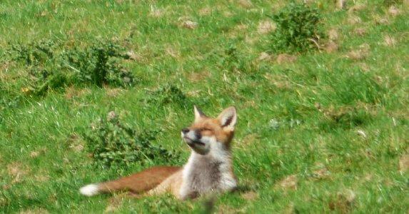 Fox in the sun