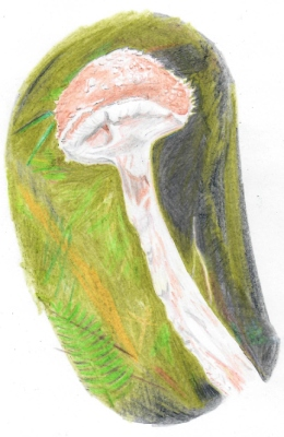 Possibly Leratiomyces squamosus, quite a rare species, drawn by Rowena Millar