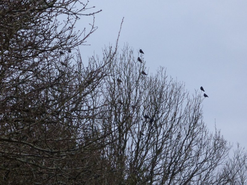 Birds in trees along the hedge