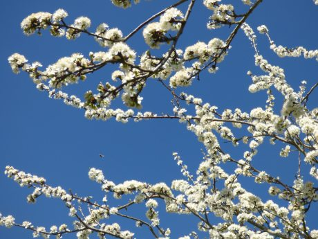 Blackthorn blossom attracts the early bees and bee-flies