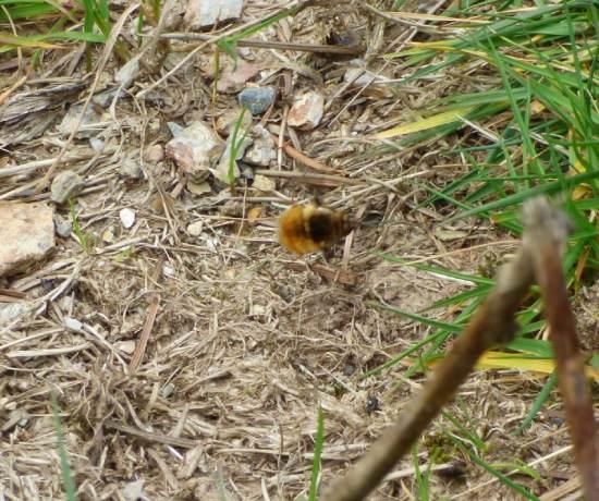 Dark-edged Bee-fly in flight bear a bee's nest