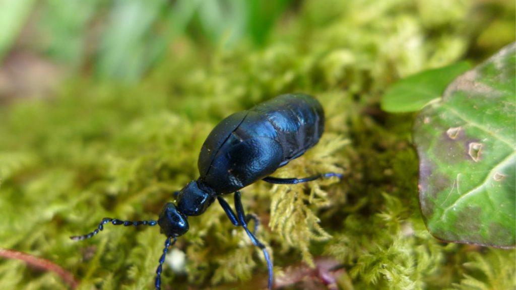 Violet oil beetle on m oss