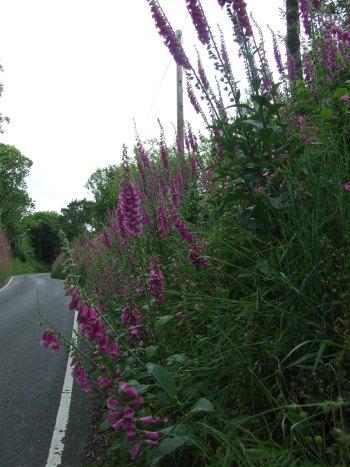 Foxglove in roadside hedge, June