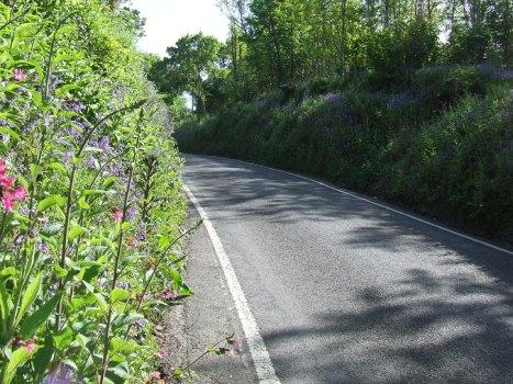 Foxgloves in roadside hedge, June