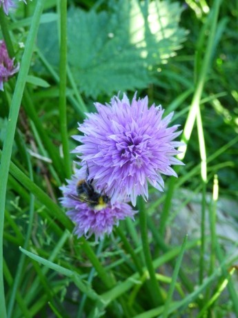 Bumblebee on chives