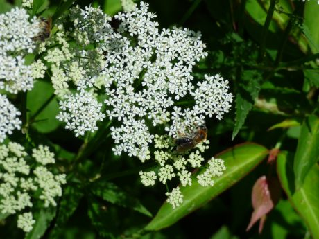 Solitary bee with ginger thorax on ground elder