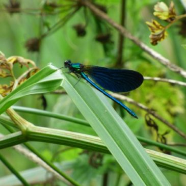 Demoiselle and dragonfly day