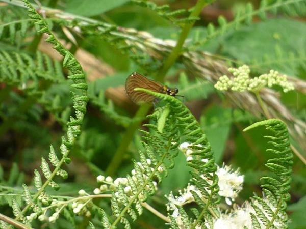 Female Beautiful Demoiselle about to take off