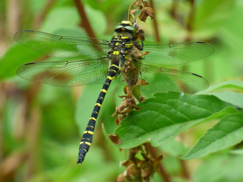 Male Golden-ringed Dragonfly